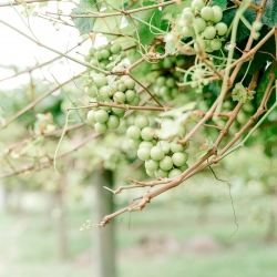 Stony Mountain Vineyards served as an amazing backdrop for a fall wedding complete with lush vines as captured by Alyssa Frost Photography