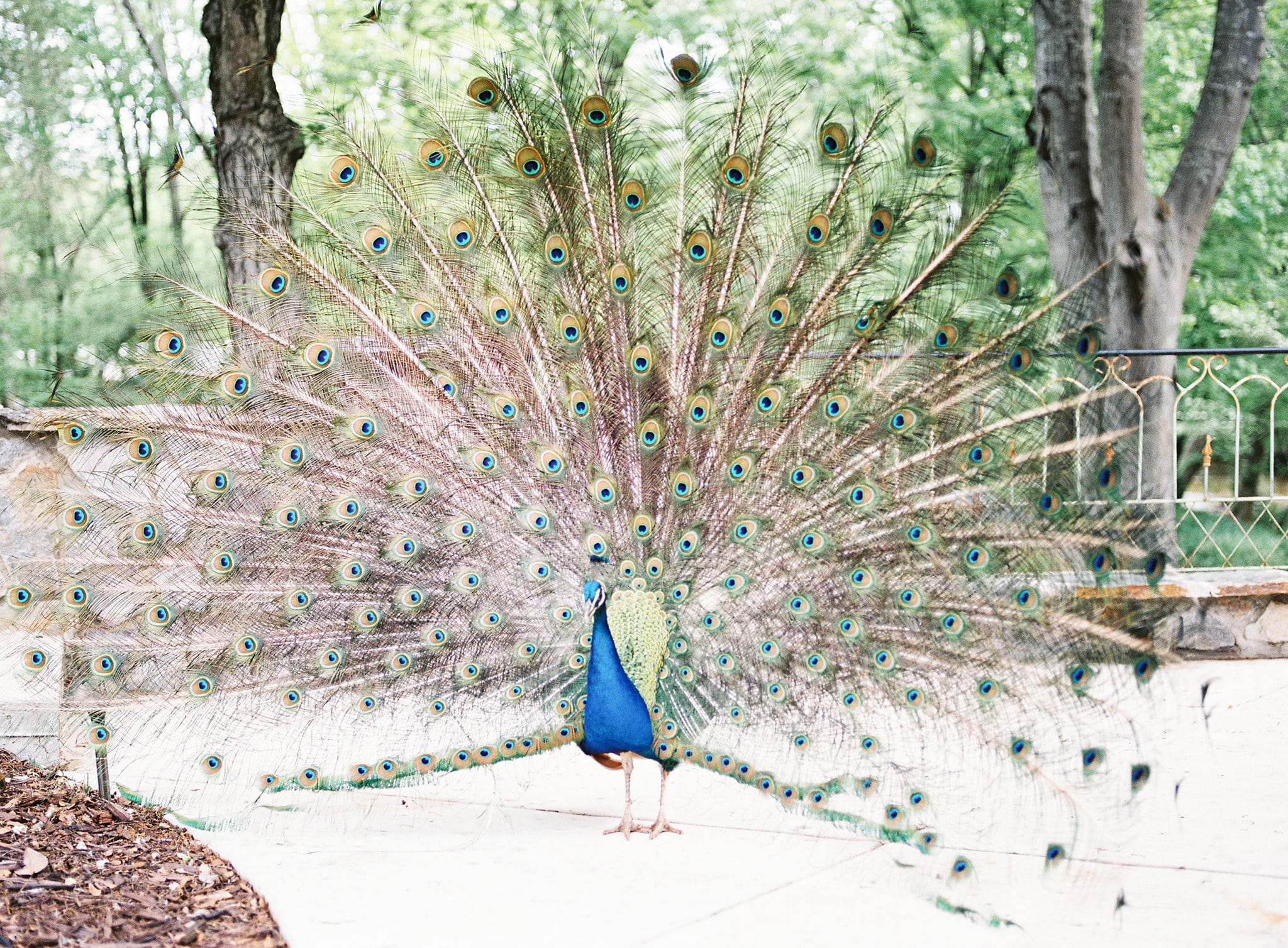 Fun peacock who made his appearance during a styled shoot at Tipsy Goat Estate